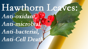 Back And Neck Care Center presents new research regarding the flavonoids of the hawthorn tree leaves' extract that are antioxidant, antibacterial, antimicrobial and anti-cell death.